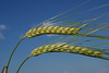 Barley head and stem above a wheat head and stem in the adjacent field.