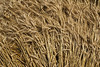 wheat in a swath