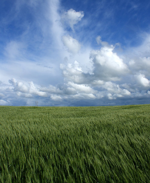 A field of wheat maturing under a stunning prairie sky near Arden MB