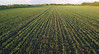 New cereal crop emerging a miles east of the Plumas highway.