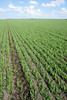 Seedling wheat field near Neepawa MB