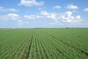 Seedling wheat field near Neepawa MB