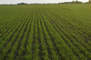 New crop of wheat near Olsufka's farm, Arden MB