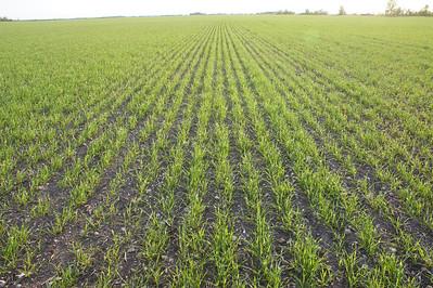 Wheat in June