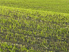Field of newly emerged wheat at Arden MB