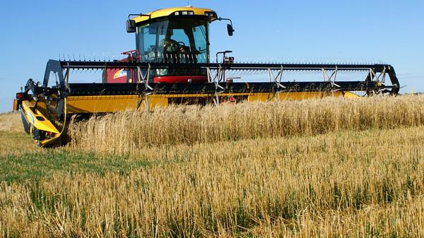 Wheat swaths