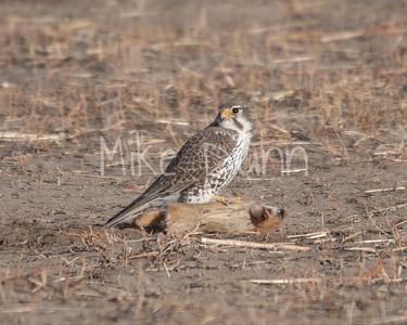 Prairie Falcon-26