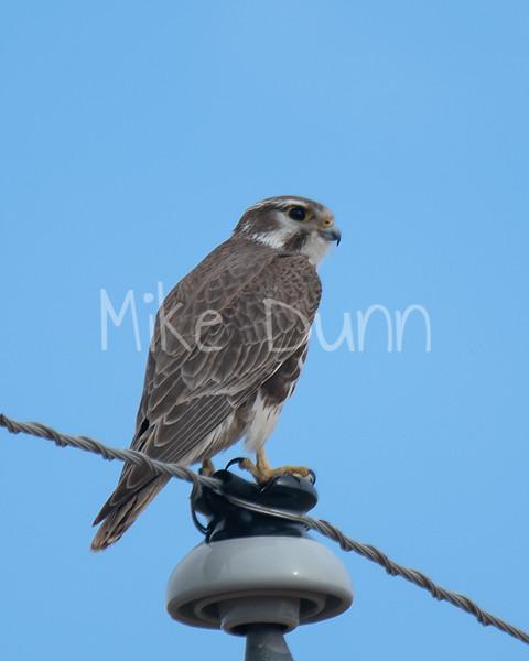 Prairie Falcon-11