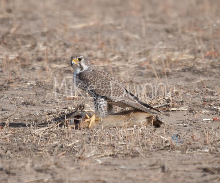 Prairie Falcon-27