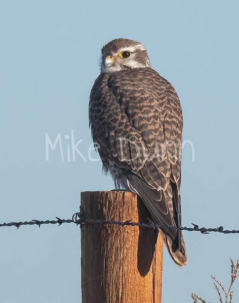 Prairie Falcon-50