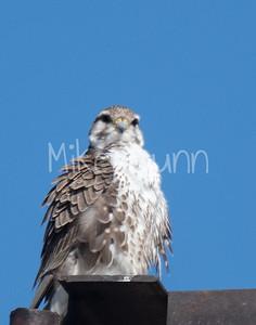 Prairie Falcon-21