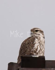 Prairie Falcon-15