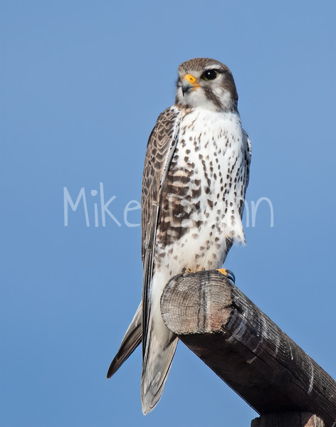 Prairie Falcon-41