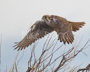 Prairie Falcon-36
