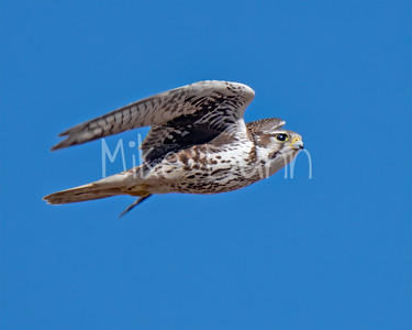 Prairie Falcon-38