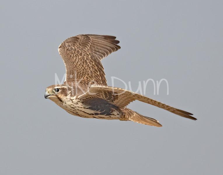 Prairie Falcon-46