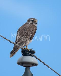 Prairie Falcon-10