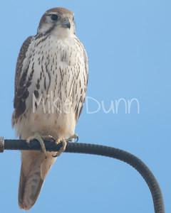 Prairie Falcon-30