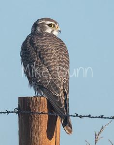Prairie Falcon-49