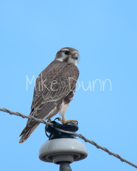 Prairie Falcon-12