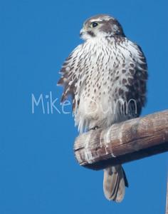 Prairie Falcon-34