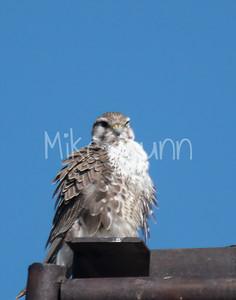 Prairie Falcon-22