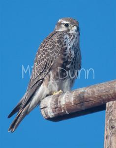 Prairie Falcon-33