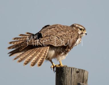 Prairie Falcon-40
