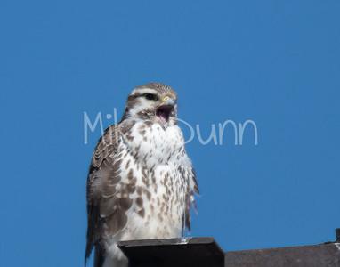 Prairie Falcon-23