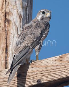 Prairie Falcon-43