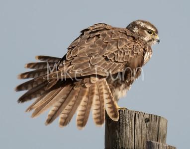 Prairie Falcon-39
