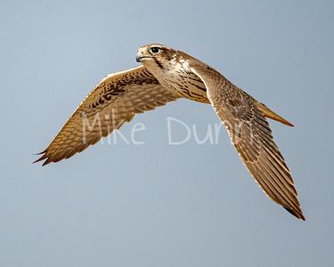 Prairie Falcon-45