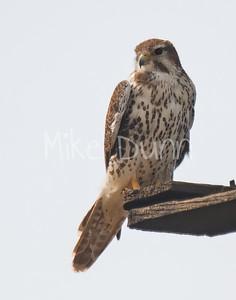Prairie Falcon-28