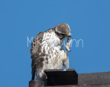 Prairie Falcon-24