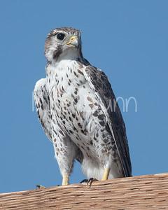 Prairie Falcon-44