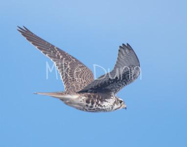 Prairie Falcon-32