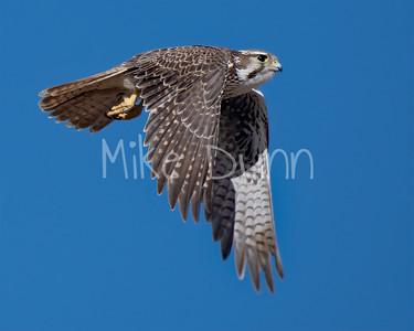 Prairie Falcon-37
