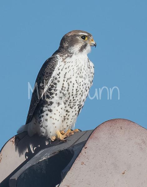 Prairie Falcon-48