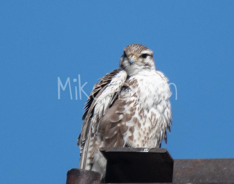 Prairie Falcon-25