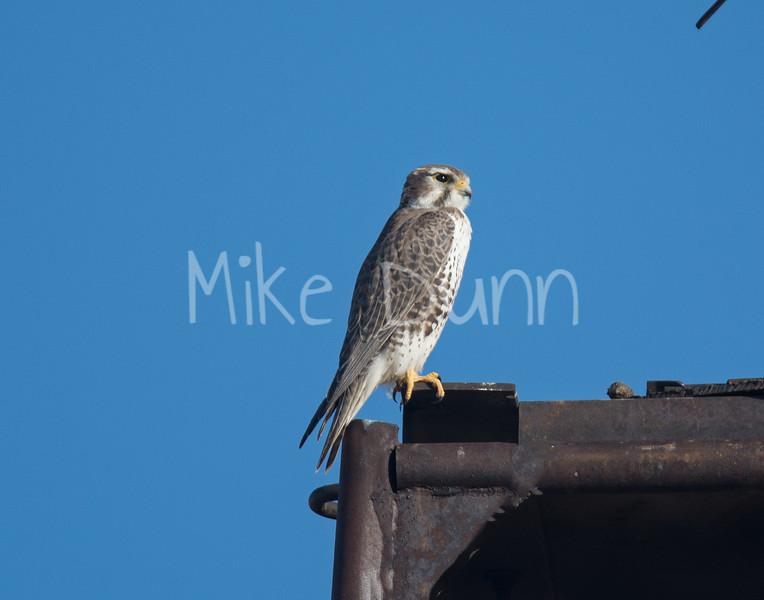 Prairie Falcon-2