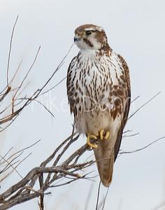 Prairie Falcon-35