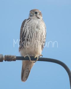Prairie Falcon-31