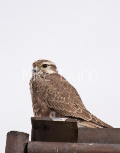 Prairie Falcon-13