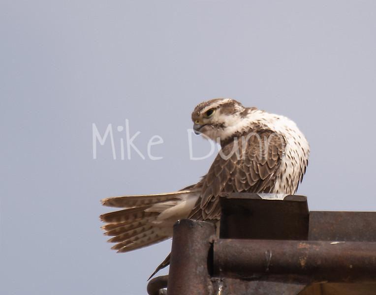 Prairie Falcon-16