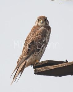 Prairie Falcon-29