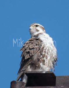 Prairie Falcon-20