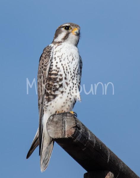 Prairie Falcon-42