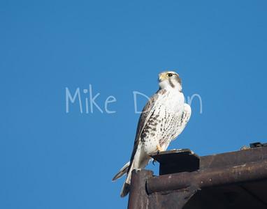 Prairie Falcon-3