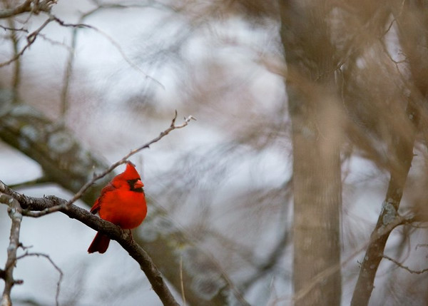 "Cardinal in Winter Note Cards - 10 Cards and Envelopes  Available at <a href=""http://www.amazon.com/gp/product/B002VJ1XEA"">Amazon</a> (Clicking the linke will take you to the Amazon.com site and away from the Prairie Perspectives Photography site.)  This striking, minimalist image of a Cardinal in a winter tree truly evokes the mood of a winter day. Use these cards for any purpose from ""Thank You"" notes to Christmas Cards to love letters to your sweety."
