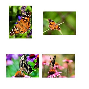 "Butterfly Note Card Assortment - 12 Cards and Envelopes  Available at <a href=""http://www.amazon.com/gp/product/B002UC3FI0"">Amazon</a> (Clicking the linke will take you to the Amazon.com site and away from the Prairie Perspectives Photography site.)  The Butterflies Note Card Assortment features 4 different high quality photos of butterflies. These colorful photos, taken in natural settings, will brighten up your correspondence! They make a great gift for the nature lover in your life! The cards are printed on high quality glossy photo paper. They are blank on the inside."